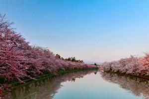 栃木県足利市の桜の開花予想はいつかな?