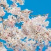 今日の天気の荒れで足利の桜が散っちゃいますね・・・
