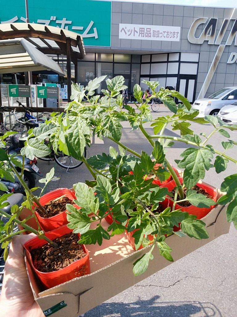 今年もプチトマトを育てる季節がやってきました!ビバとカインズの苗の値段比較もしてみたよ!