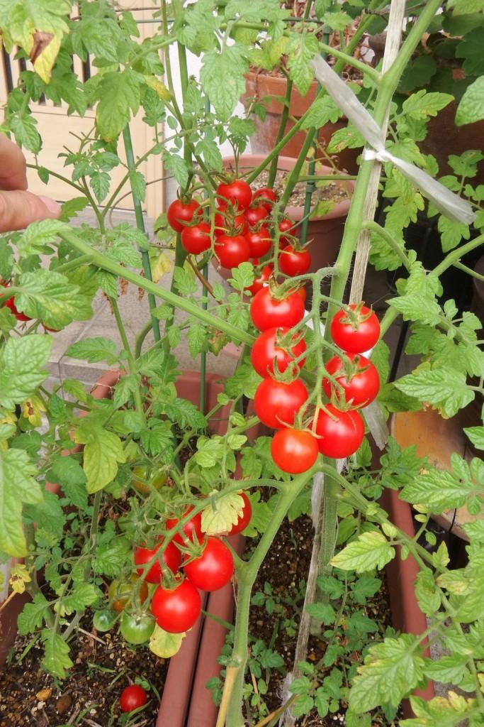 帰国したらプチトマト真っ赤になっていて収穫時になってたよ!