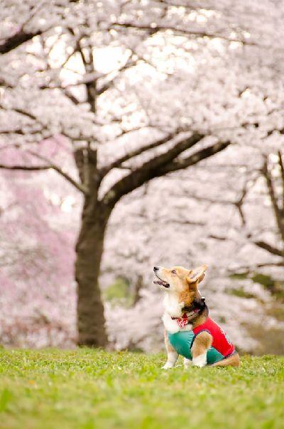 【動画あり】栃木県足利市の桜の名所、見所をまとめてみた