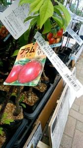 プチトマト 苗 プラム