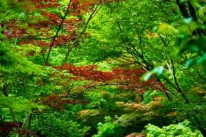 秋 金木犀 木 山 紅葉