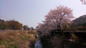 足利 フラワーパーク 駅 桜